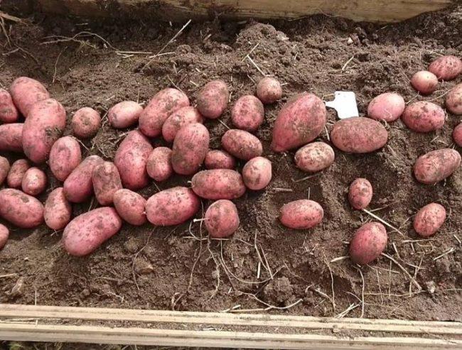 Корнеплоды гибридного сорта картофеля Рокко на грядке