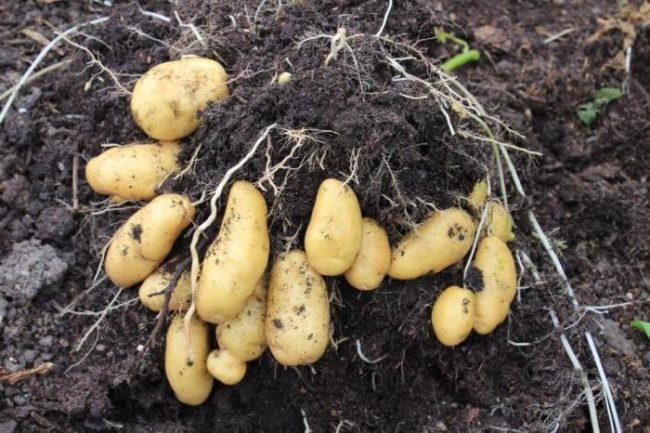 Вырытый из земли куст картофеля с продолговатыми корнеплодами
