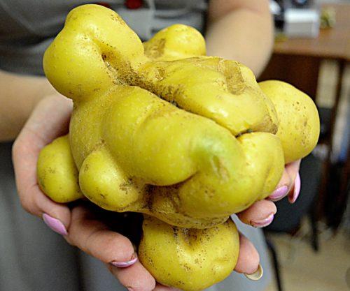 Корявые клубни молодого картофеля