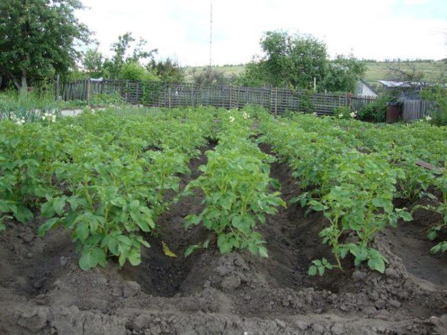 Рослые кусты картошки немецкого сорта Адрета на высоких гребнях