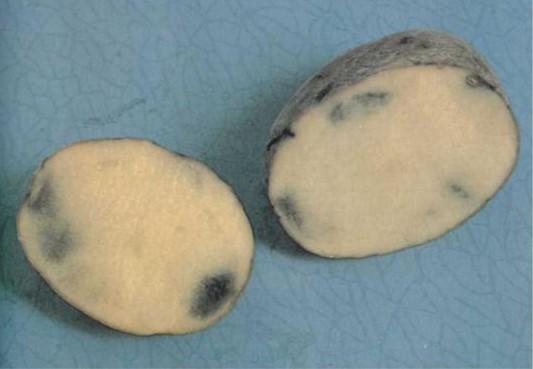 Темные пятна с размытым контуром на срезе картофеля вследствие калийного голодания