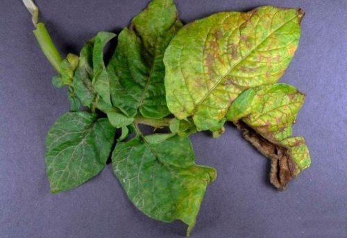 Признаки проявления вирусной морщинистой мозаики на листьях картофеля