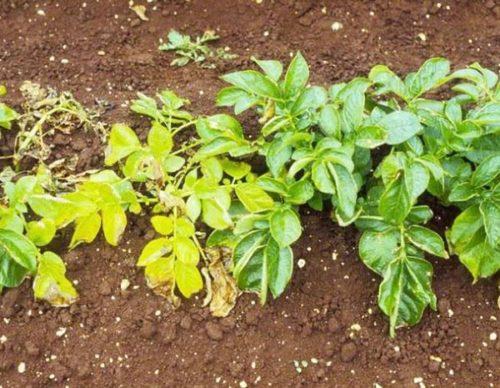 Погибающий от нематоды куст картофеля