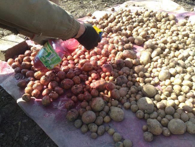 Обработка посевного материала картофеля от инфекций грибкового типа