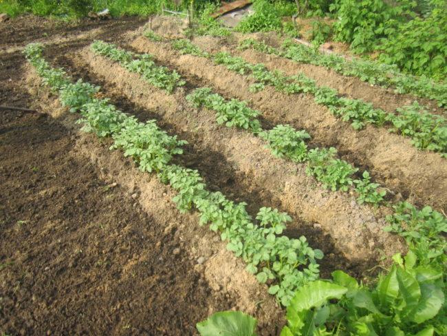 Окученные ряды картофеля в огороде приусадебного участка