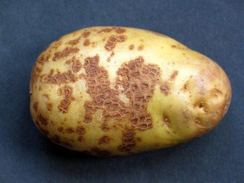 Молодой картофель с тёмными болячками