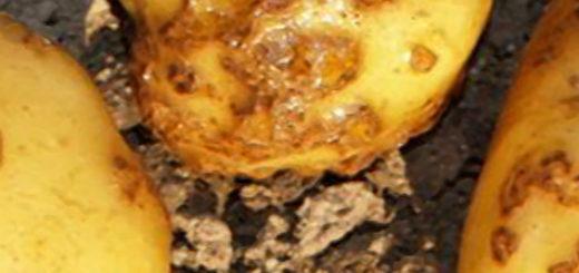 Болезнь картошки парша вблизи спелые желтые клубни