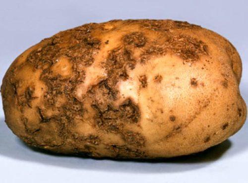Картофель с признаками поражения паршой обыкновенной