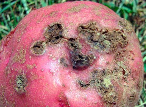 Красная кожура картофеля с глубокими язвами вследствие поражения паршой обыкновенной