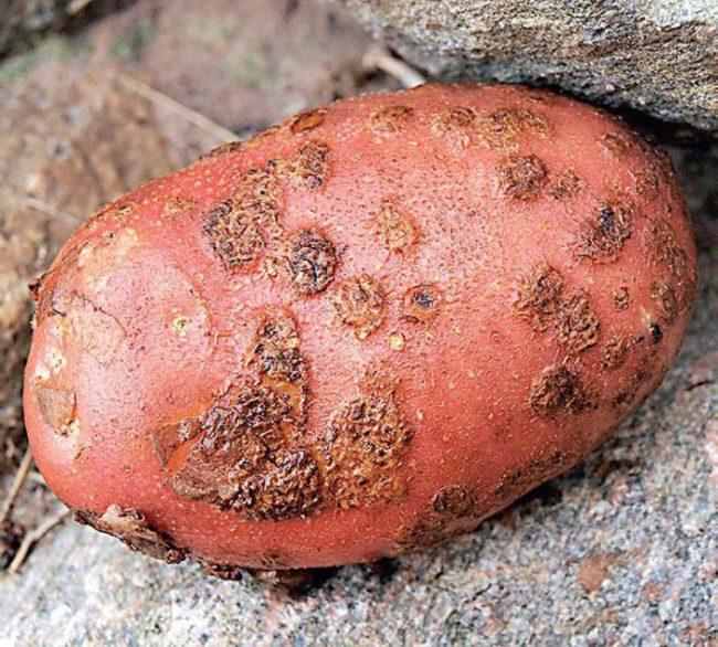 Клубень картофеля сорта Ред Скарлет с признаками поражения паршой обыкновенной