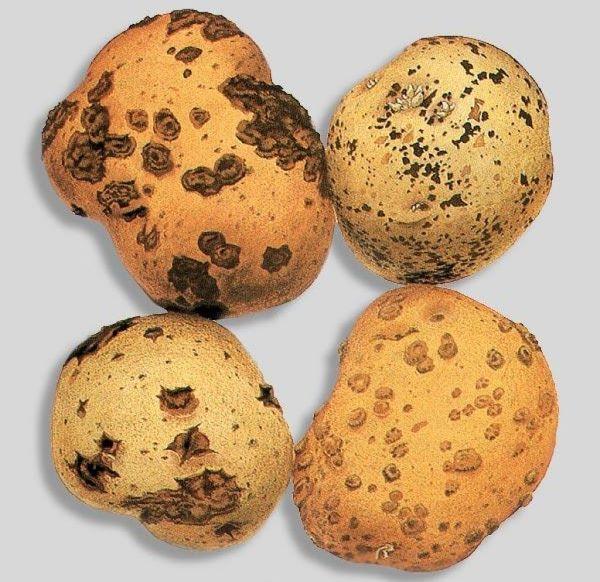 Клубни картофеля с признаками поражения растения паршой на различных стадиях заболевания