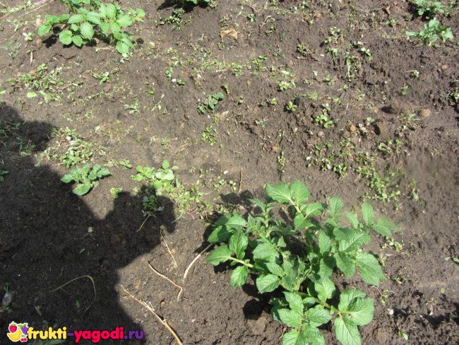Грядки картошки после полива