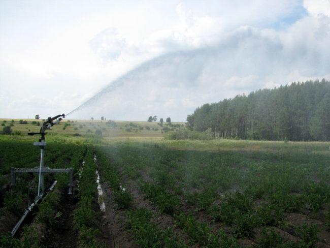 Полив картофельного поля из роторного дождевателя