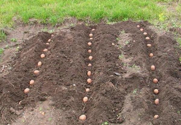 Посадка картофеля в длинные канавки на приусадебном участке