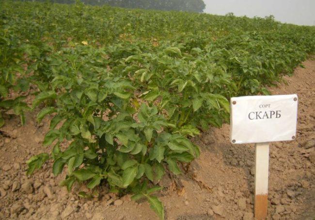 Кусты картофеля сорта Скарб, выращиваемые на фермерском поле для продажи на рынке