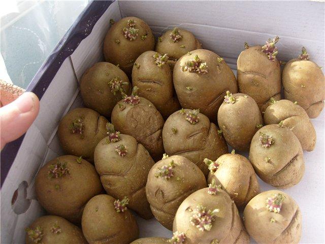 Пророщенный корнеплоды столового картофеля в картонном ящике