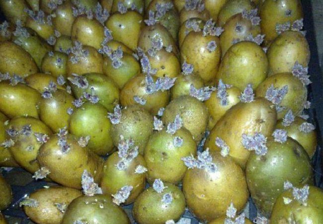 Пророщенная семенная картошка с позеленевшей кожурой