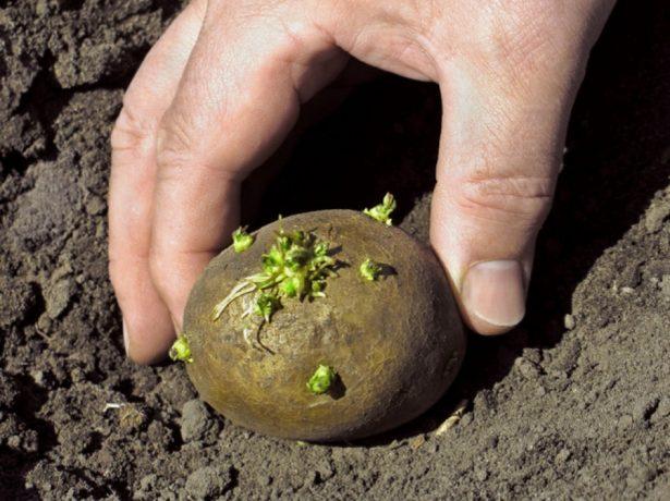 Посадка пророщенного клубня картофеля с зелеными ростками