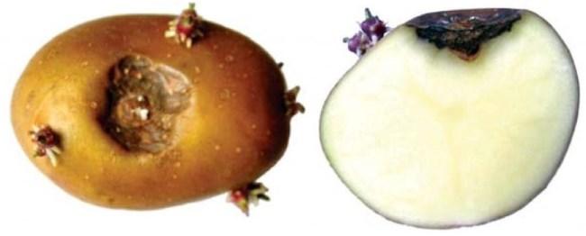 Клубневая форма пуговичной гнили на старом корнеплоде картофеля