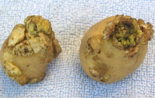 Клубни с наростами, появляющимися при поражении картофеля раком