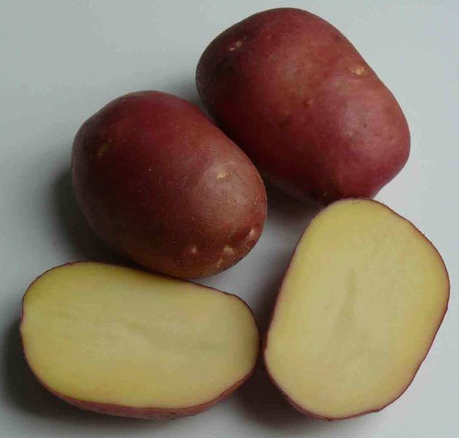 Разрез корнеплодов картофеля сорта Рокко с кремовой мякотью