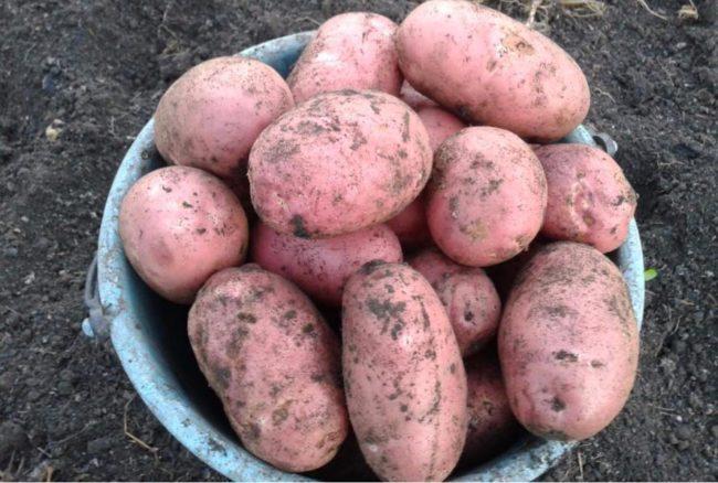 Ведро с урожаем картофеля сорта Ред Скарлет сверхраннего срока созревания