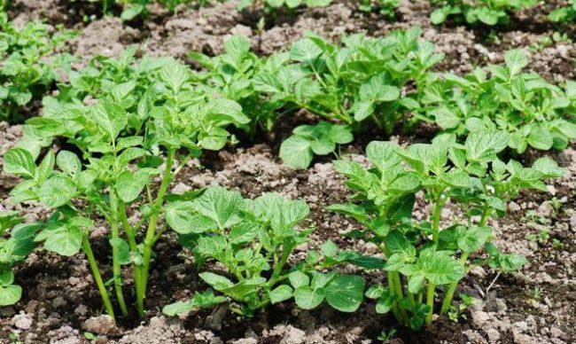 Молодые кустики картофеля столового сорта ред Скарлет раннего срока созревания