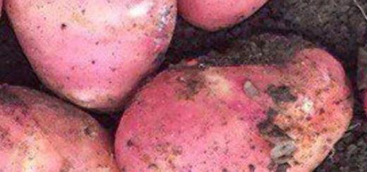 Спелые плоды картофеля Рэд Скарлет вблизи