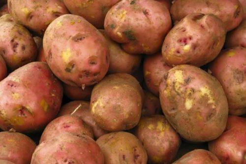 Клубни картофеля голландского сорта Ред Скарлет красно-розового окраса