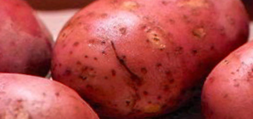 Плоды картошки Рокко вблизи