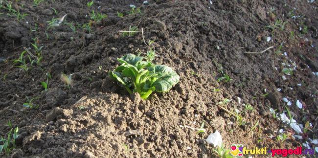 Молодые ростки картофеля Импала с зелеными листьями на поверхности земли
