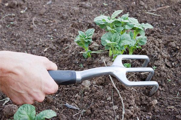 Рыхление молодого кустика картофеля ручным садовым инструментом