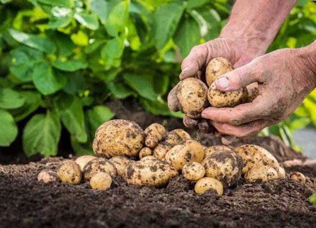 Молодые корнеплоды картофеля отечественного сорта Невская