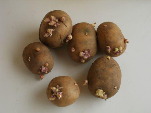 Клубни семенного картофеля сорта Невский с проросшими ростками