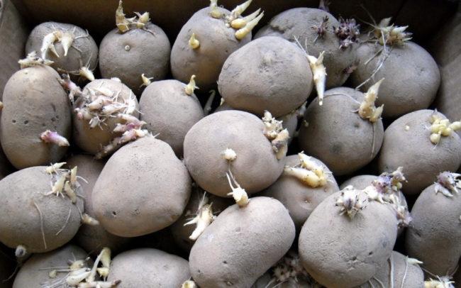 Семенной картофель с белыми ростками перед посадкой в открытый грунт