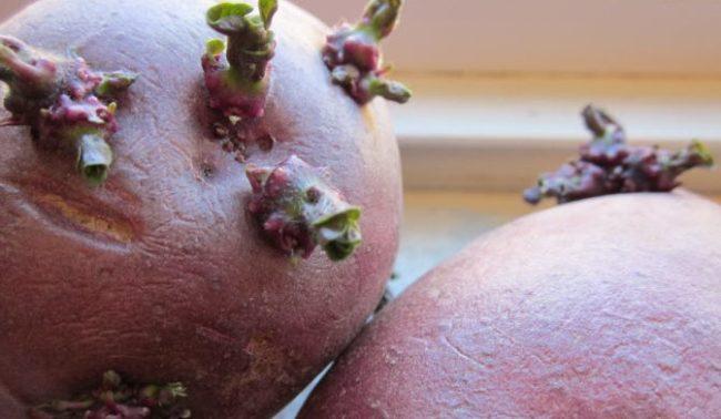 Пророщенные клубни розовой картошки сорта Ред Скарлет от голландских селекционеров