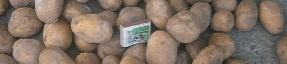 Семенной картофель Скарб в сравнении с коробком спичек
