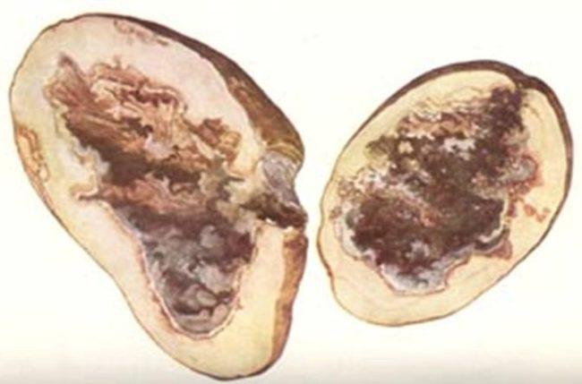 Внутренняя смешанная гниль картофеля бактериального происхождения