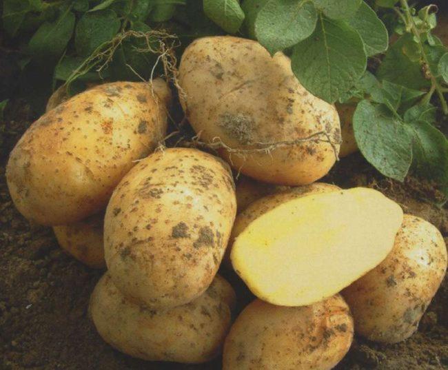 Картофелины гибридного сорта Удача, выкопанные огородником на пробу
