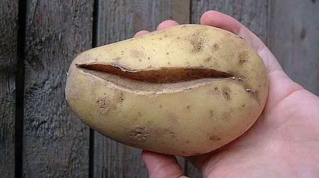Крупная картошка с глубокой продольной трещиной в руке огородника
