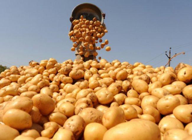 Сбор клубней картофеля в большую кучу в крупном фермерском хозяйстве