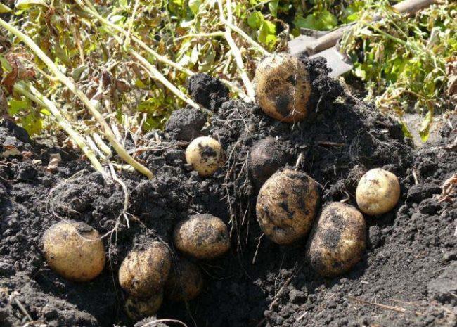 Выкопанный куст картошки скороспелого сорта Импала голландского происхождения