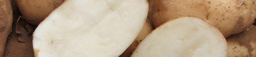 Спелая картошка сорта Удача в разрезе