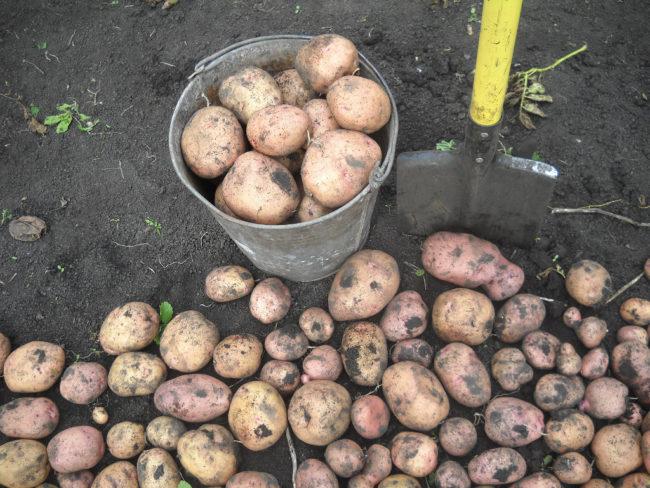 Картофель сорта Жуковский россыпью и в оцинкованном ведре