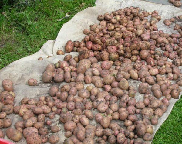 Урожай картофеля столового сорта Жуковский подсыхает на балом нетканом материале