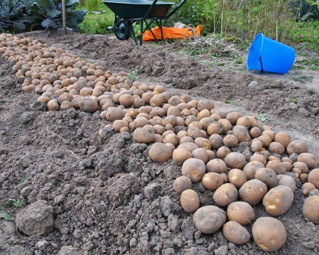 Сбор урожая картошки сорта Киви от белорусских селекционеров