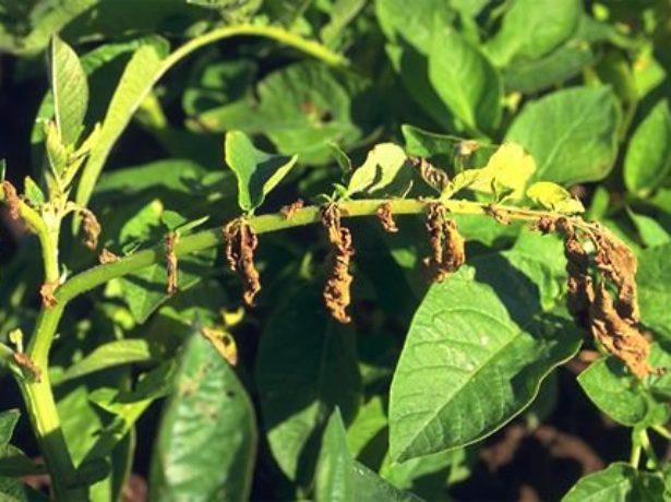 Ветка картофеля с засохшими листьями коричневого цвета от вертициллеза