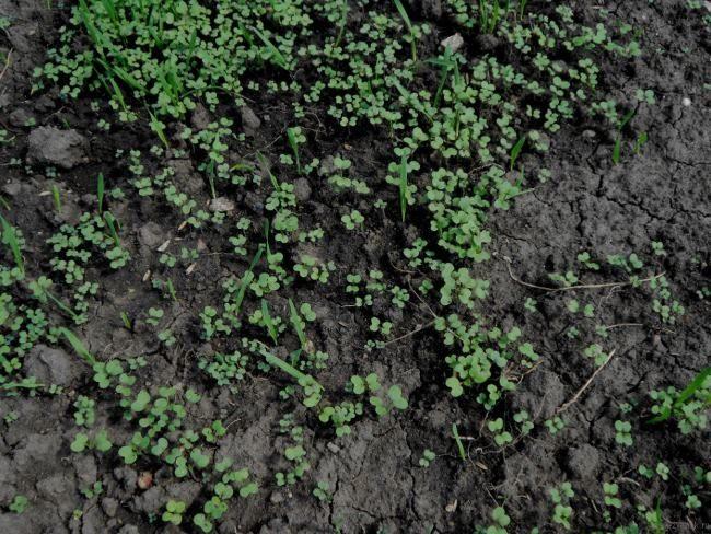 Молодые всходы белой горчицы, используемой в качестве сидератного растения