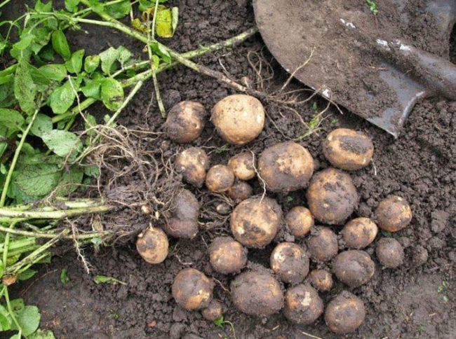 Выкопка на пробу куста молодого картофеля сорта Киви