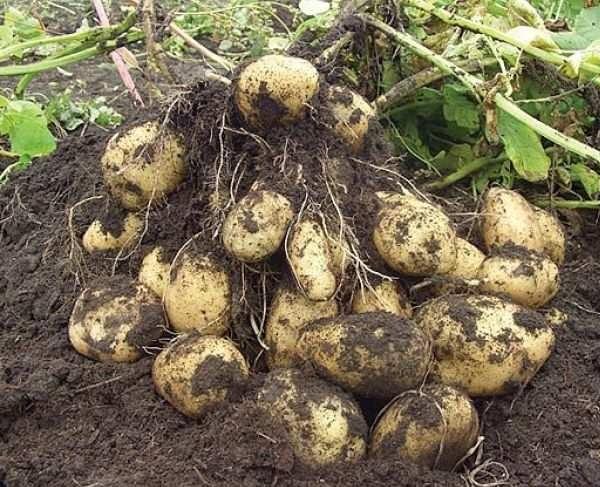 Выкопанные из земли клубни столового картофеля сорта Адрета